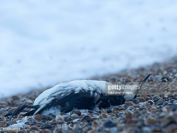Common Guillemot or Murre Uria aalge washed up dead on beach after storm Norfolk
