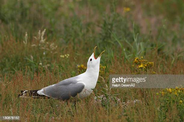 common gull (larus canus) crying, bremen, germany, europe - vista lateral stock pictures, royalty-free photos & images