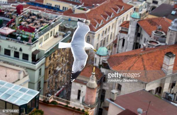 common gull flying over city, istanbul, turkey - zinchenko stock pictures, royalty-free photos & images