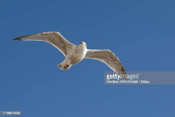 common gull (larus canus) in flight at worthing - royal tern stock photos and pictures