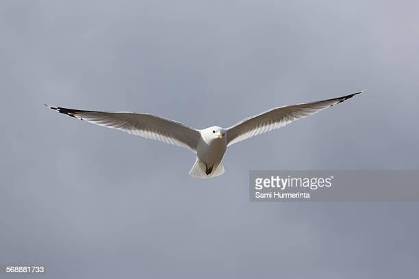 a common gull in flight - jyväskylä stock photos and pictures
