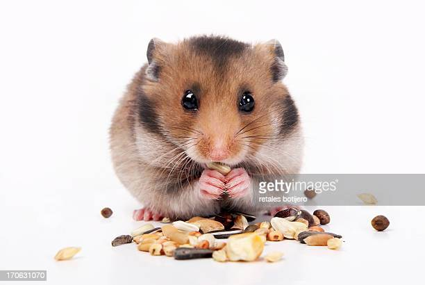 common hamster eating seeds - hamster photos et images de collection