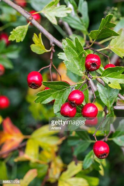 Common hawthorn / singleseeded hawthorn close up of red berries / pomes and leaves