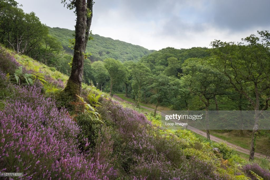 Common heather growing in a clearing in Shillett Wood in late summer in Exmoor National Park. : News Photo