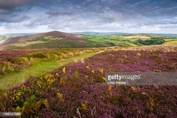 Common Heather in bloom in Exmoor National Park along the South West Coast Path at Great Hangman with Holdstone Down beyond.