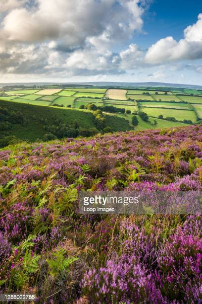 Common heather in late summer on Winsford Hill overlooking The Punchbowl in Exmoor National Park.