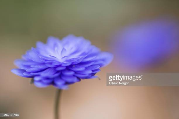 Common hepatica (Hepatica nobilis), Emsland, Lower Saxony, Germany