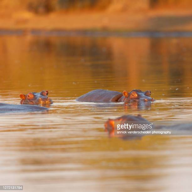 common hippopotamus - mpumalanga province stock pictures, royalty-free photos & images