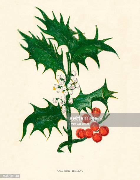 Common Holly circa 1891 From Wild Flowers by Anne Pratt 1891 [Society for Promoting Christian Knowledge London 1891] Artist Anne Pratt
