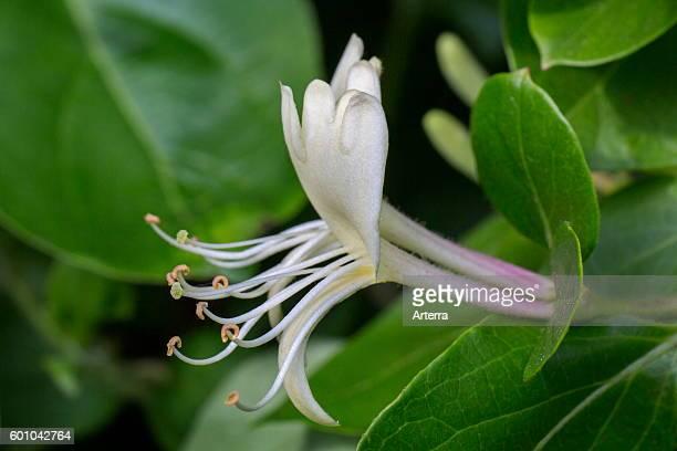 Common honeysuckle / European honeysuckle / woodbine in flower