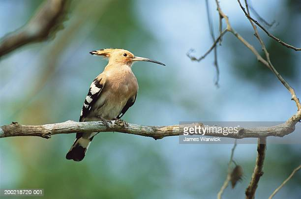 common hoopoe (upupa epops) perched on branch, close-up - kaziranga national park stock pictures, royalty-free photos & images