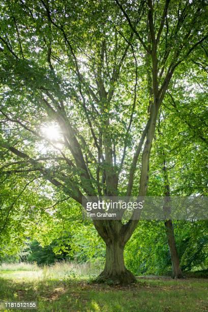 Common Hornbeam tree Carpinus Betulus Fastigiata at Royal Botanic Gardens at Kew England United Kingdom