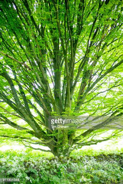 Common Hornbeam tree Carpinus in summer leaf in The Cotswolds at Swinbrook in Oxfordshire UK