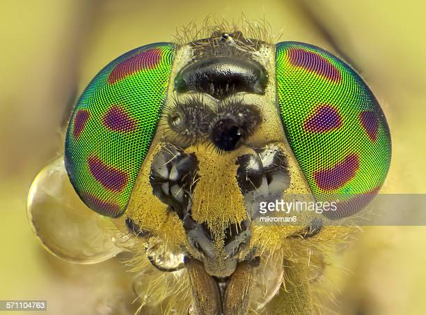common horse fly - bug eyes stock photos and pictures