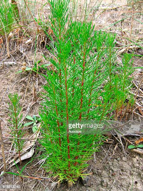 Common horsetail Equisetum arvense a highly invasive plant toxic to livestock and in high density reducing crop yields as it produces substances that...