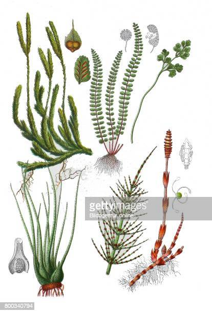 Common horsetail Equisetum arvense SeeBrachsenkraut Isoetes lacustris stag'shorn clubmosse Lycopodium clavatum maidenhair spleenwort Asplenium...
