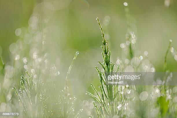 Common horsetail or field horsetail, Equisetum arvense, with dew drops