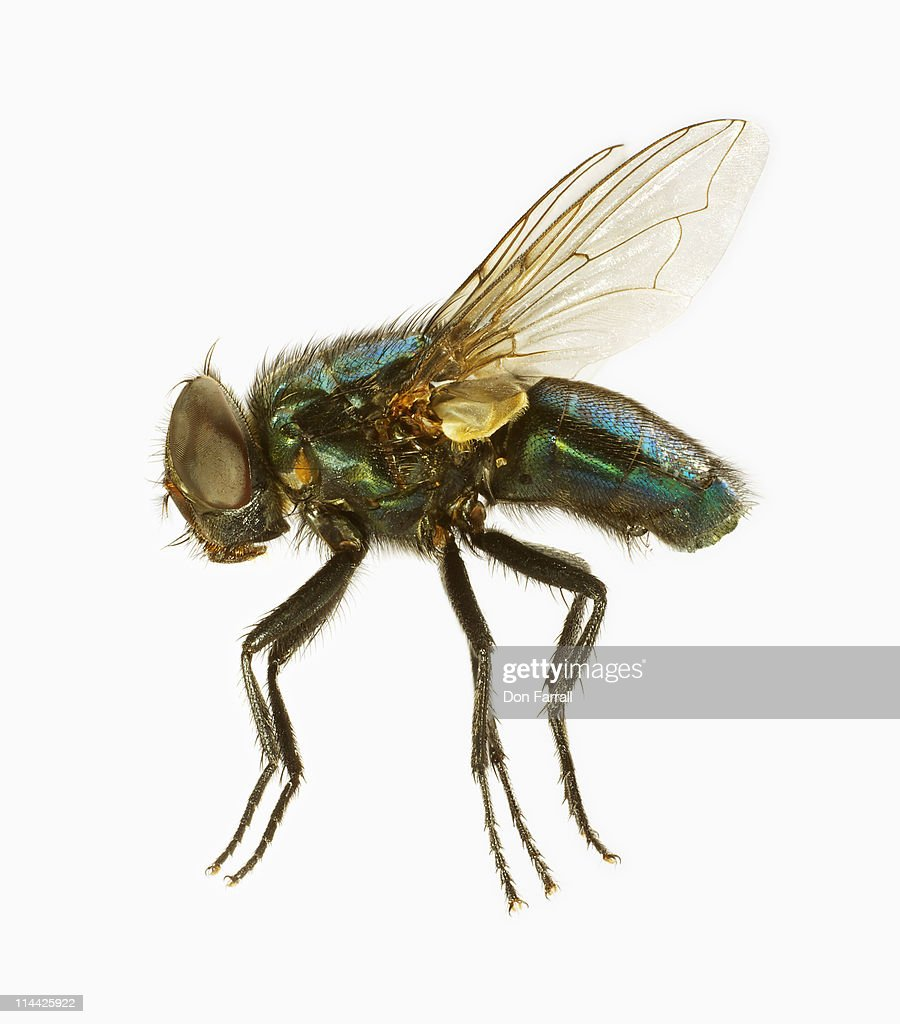 Common House Fly : Stock Photo