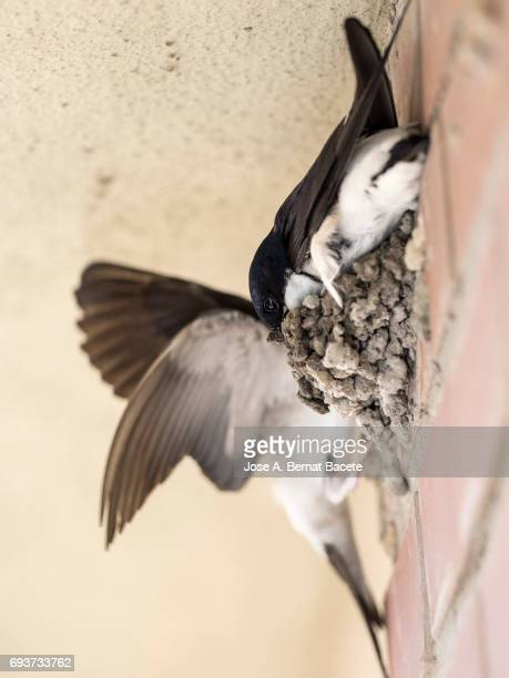 Common House Martin (Delichon urbica) adult, constructing his nest of mud on a wall