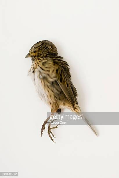 A common House Sparrow (Passer domesticus) lies dead on a white background,it's simple beauty and calmness intact.