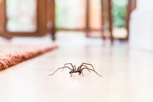 common house spider on the floor in a home 860254376