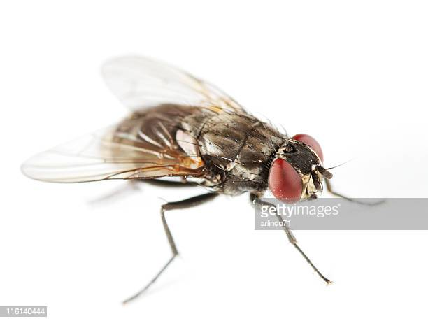 Common housefly