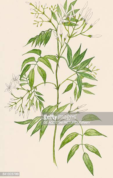 Common jasmine Oleaceae drawing