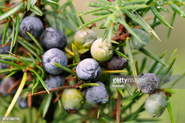 Common Juniper (Juniperus communis) with ripe and unripe berry-shaped cones, North Rhine-Westphalia, Germany