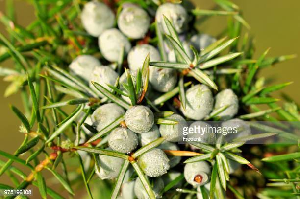 Common Juniper (Juniperus communis) with unripe berry-shaped cones, North Rhine-Westphalia, Germany