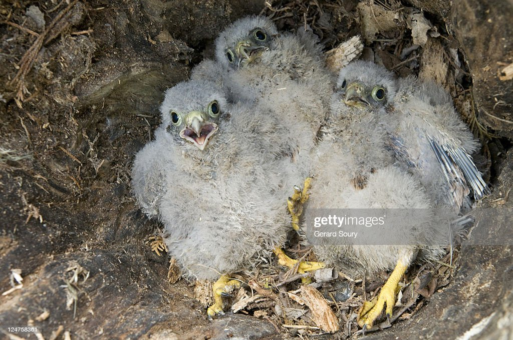 Common Kestrel (Falco tinnunculus) baby birds in nest, Baie de Somme, France : Stock Photo