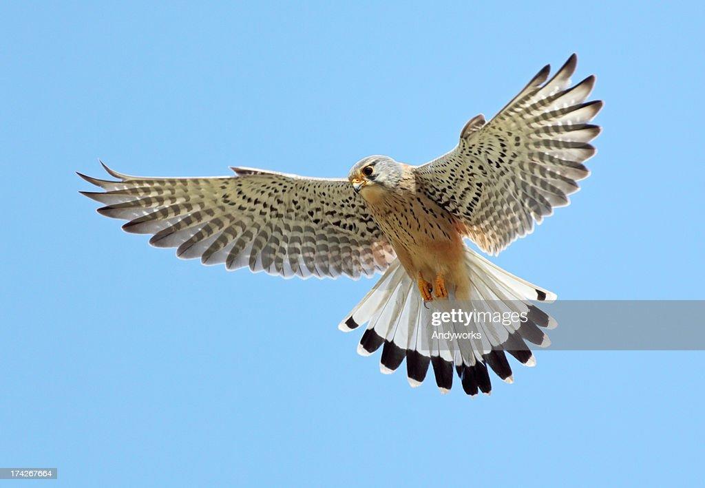 Common Kestrel (Falco tinnunculus) : Stock Photo
