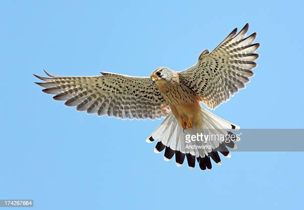 common kestrel (falco tinnunculus) - hawk bird stock photos and pictures