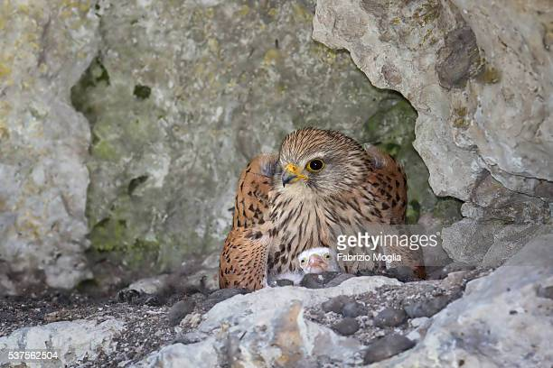 common kestrel - hawk nest foto e immagini stock