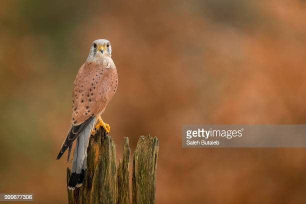 common kestrel - czech hunters stock photos and pictures