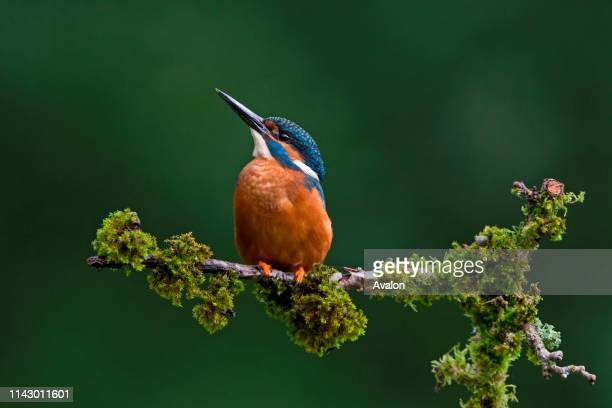 Common Kingfisher adult male perched on mossy branch Suffolk England July
