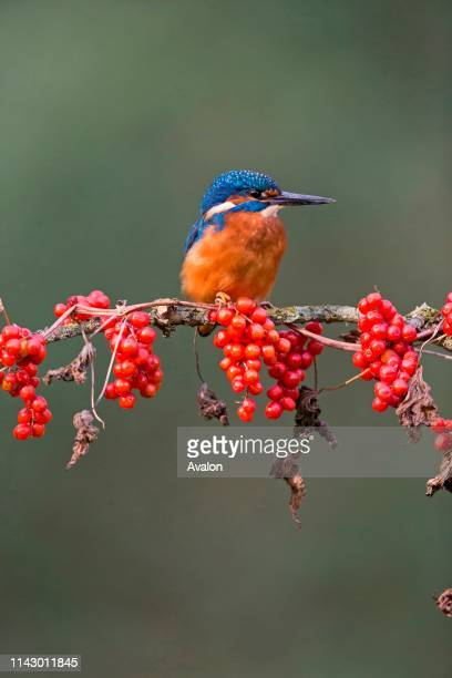 Common Kingfisher adult male perched with Black Bryony berries, Suffolk, England, UK, October.