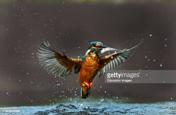 Common Kingfisher Alcedo atthis catching a minnow Worcestershire