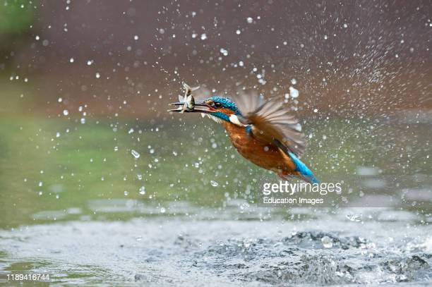 Common Kingfisher Alcedo atthis diving for fish Worcestershire UK