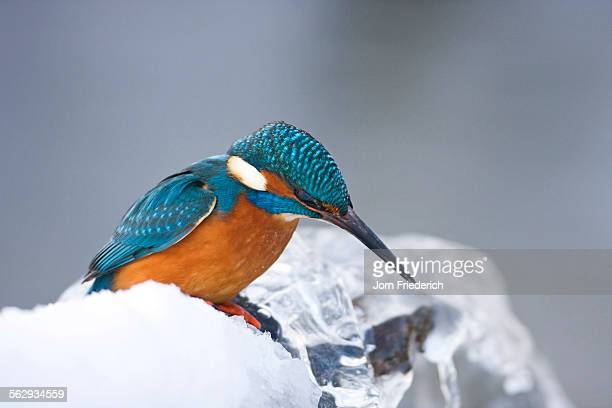 common kingfisher -alcedo atthis- in winter on a perch, germany - common kingfisher stock photos and pictures