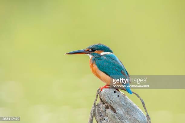 common kingfisher alcedo atthis male birds of thailand - カワセミ科 ストックフォトと画像