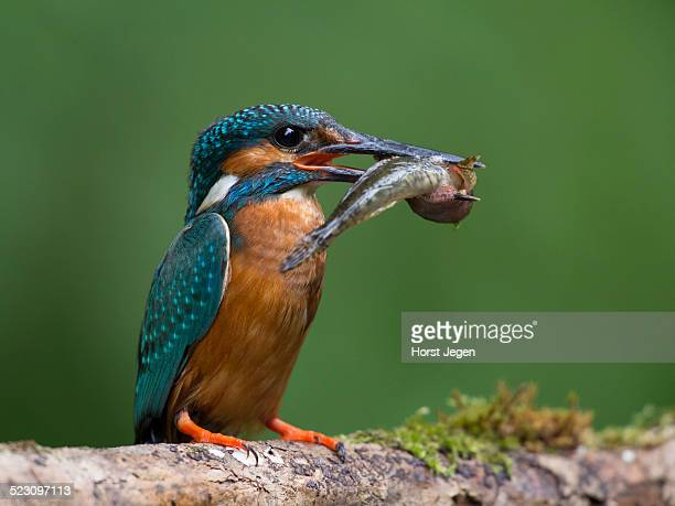 common kingfisher -alcedo atthis- with a captured fish, eifel, rhineland-palatinate, germany - common kingfisher stock photos and pictures