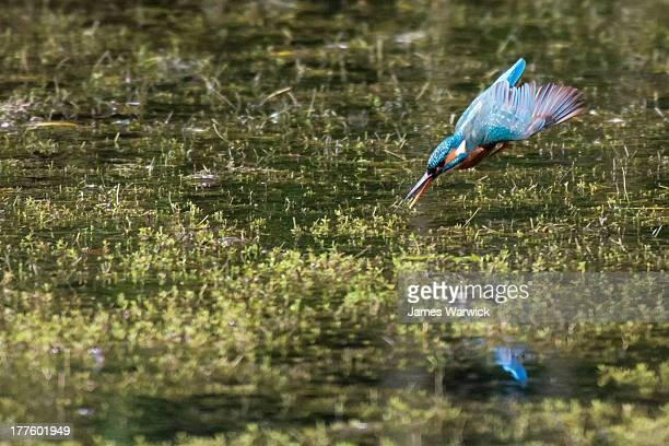 common kingfisher diving into stream - stream stock pictures, royalty-free photos & images