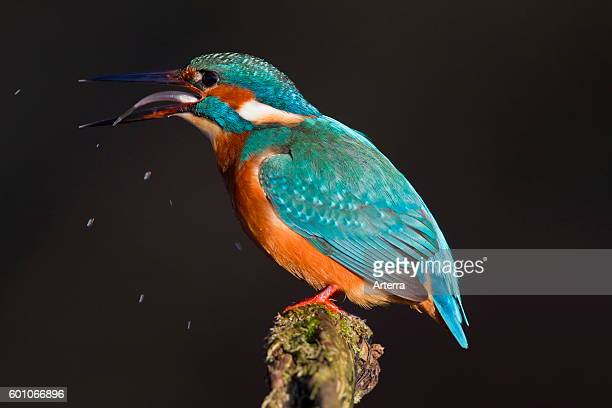 Common kingfisher / Eurasian kingfisher perched on branch and swallowing caught fish head first