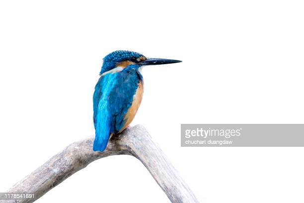 common kingfisher, female (alcedo atthis) beautiful color and catch on perched a branch with isolated background - カワセミ科 ストックフォトと画像