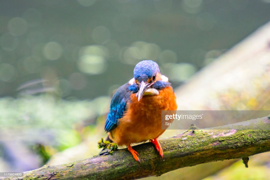 Common Kingfisher female (Alcedo atthis) sitting on a stick overlooking a small pond. : Stock Photo