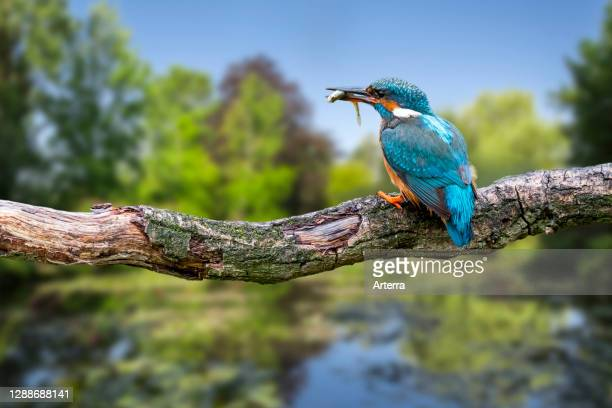 Common kingfisher female with caught ninespine stickleback fish in beak perched on branch over water of pond.