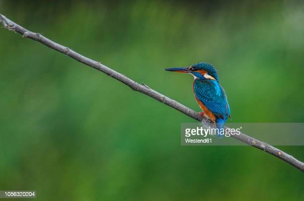 common kingfisher on a twig - カワセミ科 ストックフォトと画像
