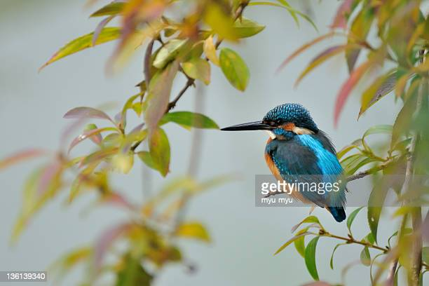 common kingfisher on branch - common kingfisher stock photos and pictures