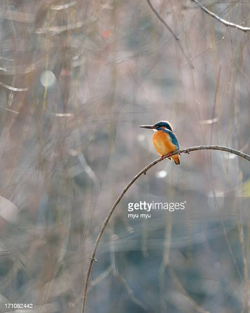common kingfisher on branches of weeping willow - common kingfisher stock photos and pictures