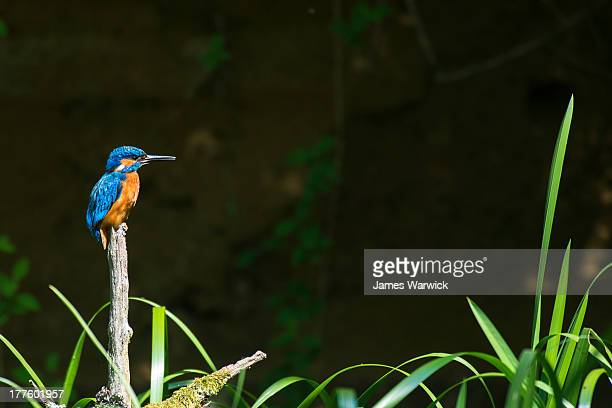 common kingfisher perched over reeds - common kingfisher stock photos and pictures